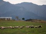 羊の群れ.jpg